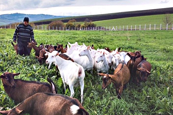allevatore al pascolo con le capre