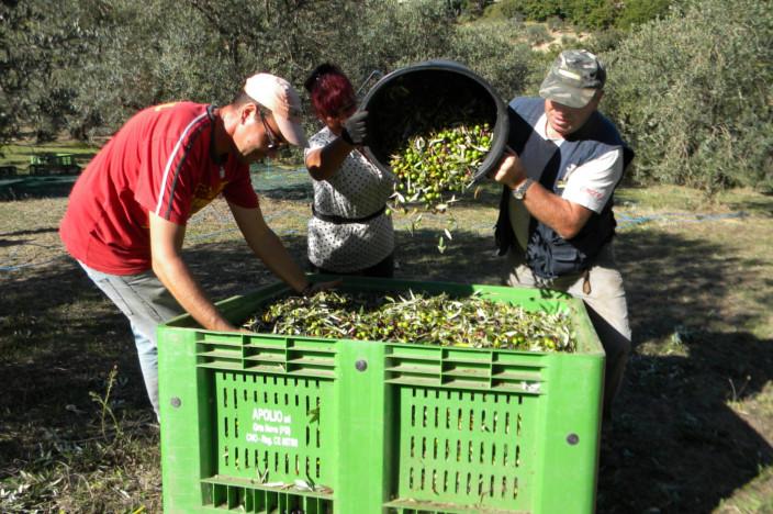 agricoltori colgono le olive